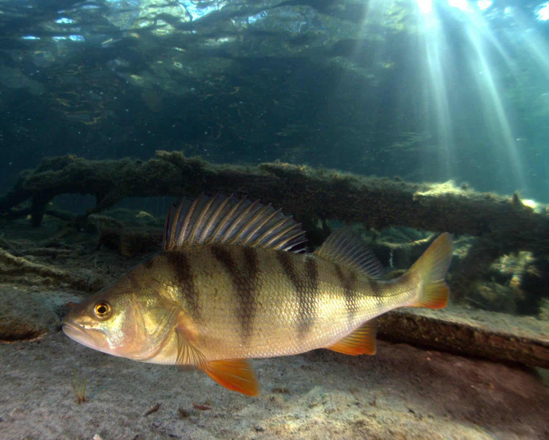 картинки про рыбу окуня говорит короткими предложениями